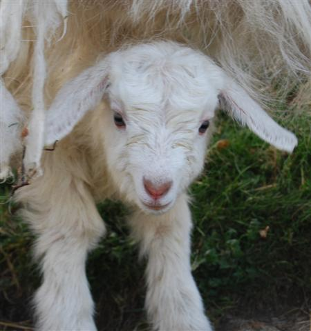 A newborn Scottish cashmere kid